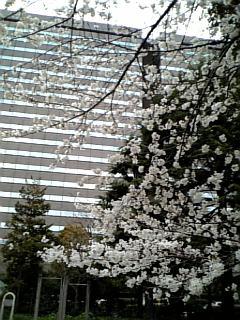 東京で見る(当面)最後の桜?